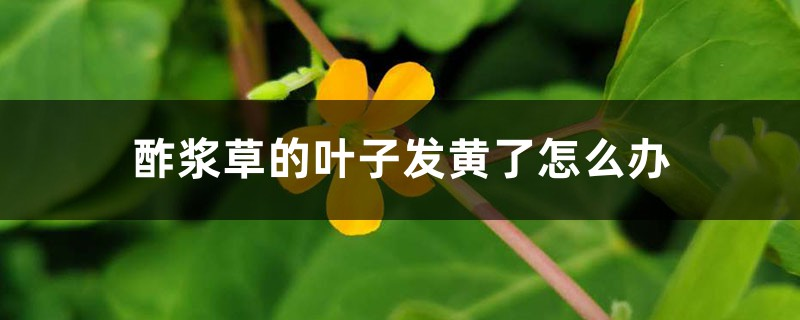酢浆草的叶子发黄了怎么办