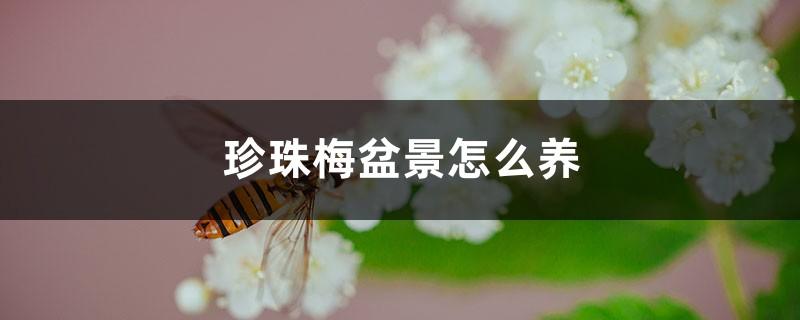 珍珠梅盆景怎么养