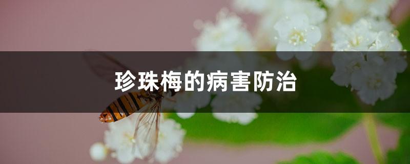 珍珠梅的病害防治