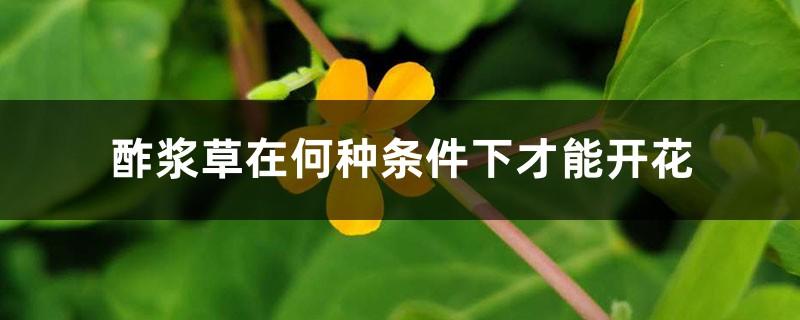 酢浆草在何种条件下才能开花