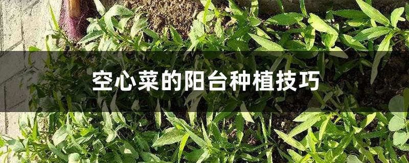 空心菜的阳台种植技巧