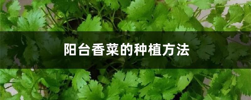 阳台香菜的种植方法