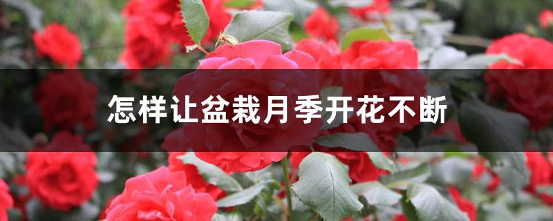 怎样让盆栽月季开花不断