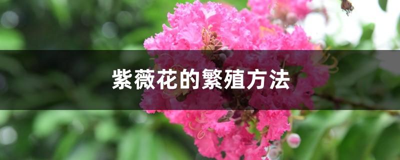 紫薇花的繁殖方法