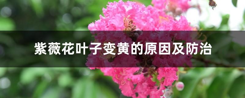 紫薇花叶子变黄的原因及防治