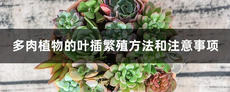 多肉植物的叶插繁殖方法