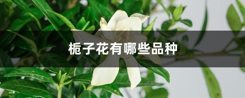 栀子花有哪些品种