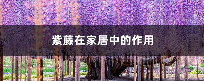 紫藤在家居中的作用