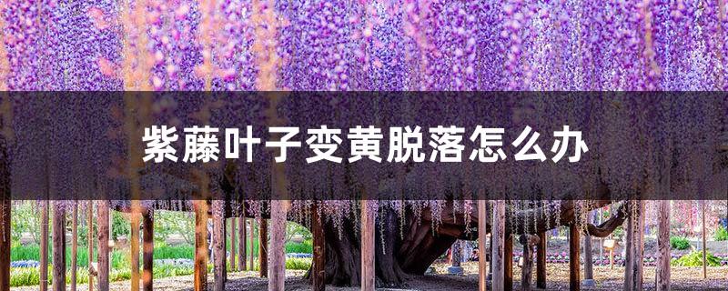 紫藤叶子变黄脱落怎么办