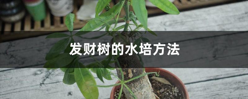 发财树的水培方法