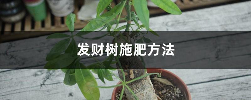 发财树施肥方法