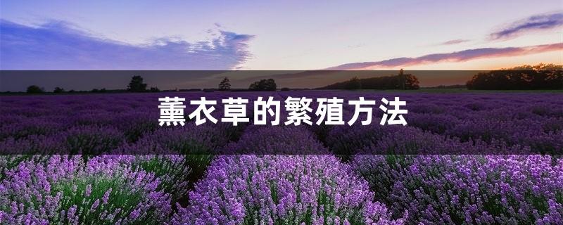 薰衣草的繁殖方法