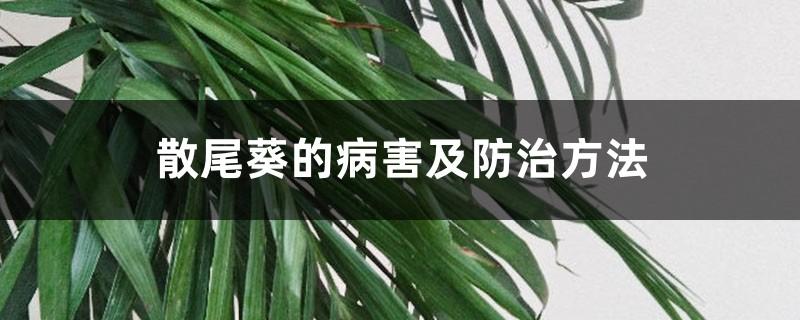 散尾葵的病害及防治方法