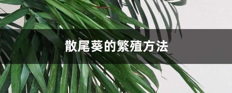散尾葵的繁殖方法