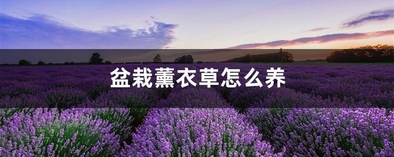 盆栽薰衣草怎么养