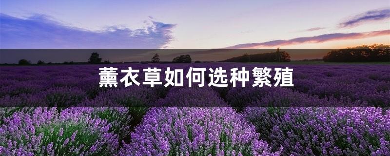 薰衣草如何选种繁殖