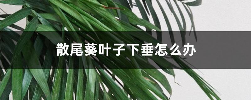 散尾葵叶子下垂怎么办