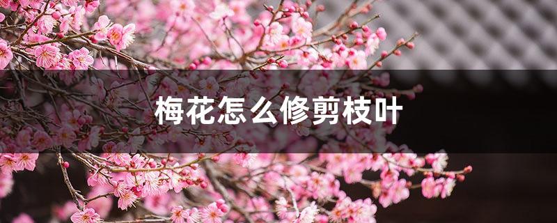 梅花怎么修剪枝叶