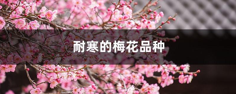 耐寒的梅花品种