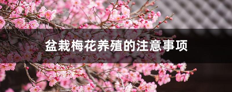 盆栽梅花养殖的注意事项