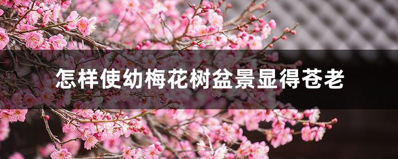 怎样使幼梅花树盆景显得苍老
