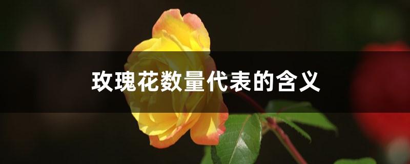 玫瑰花数量代表的含义