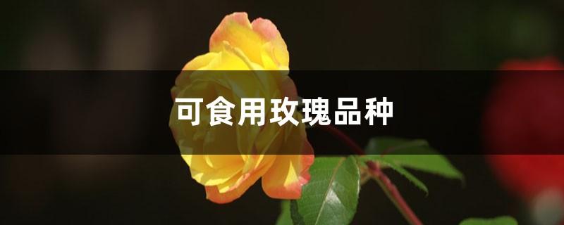 可食用玫瑰品种