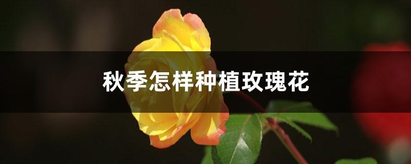 秋季怎样种植玫瑰花