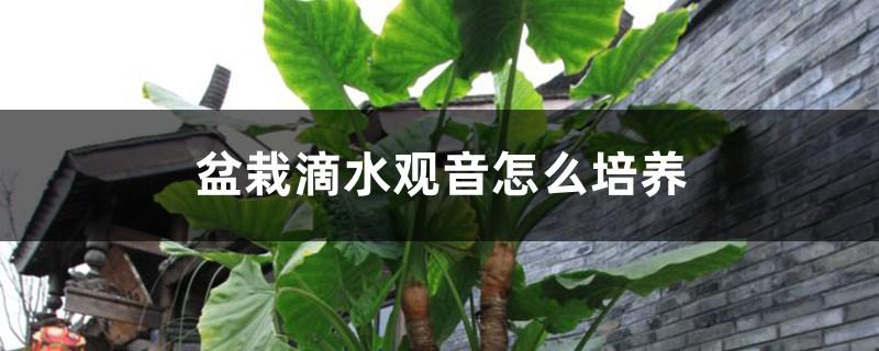 盆栽滴水观音怎么培养