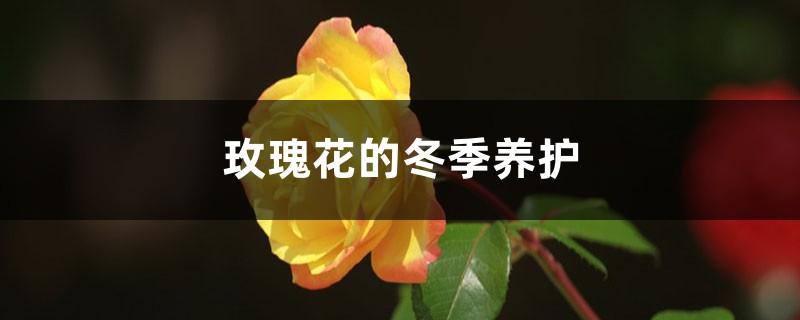 玫瑰花的冬季养护