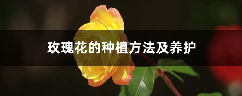 玫瑰花的种植方法及养护