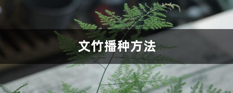 文竹播种方法