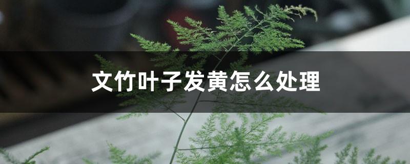 文竹叶子发黄怎么处理