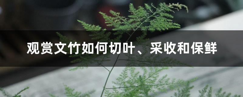 观赏文竹如何切叶、采收和保鲜