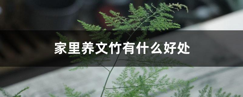 家里养文竹有什么好处