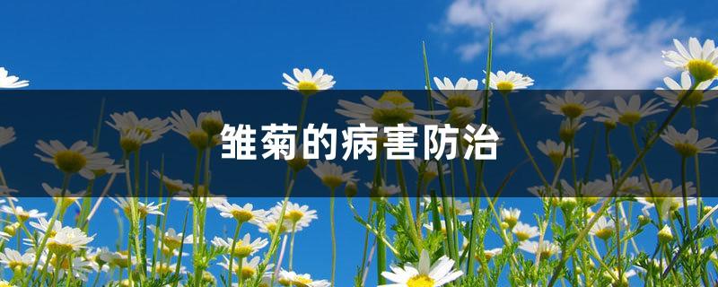 雏菊的病害防治