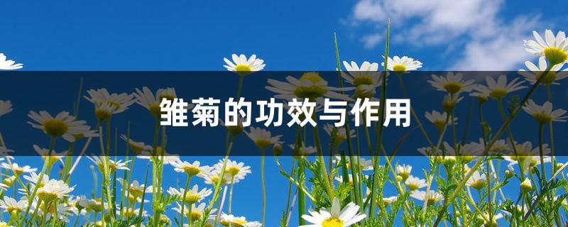 雏菊的功效与作用