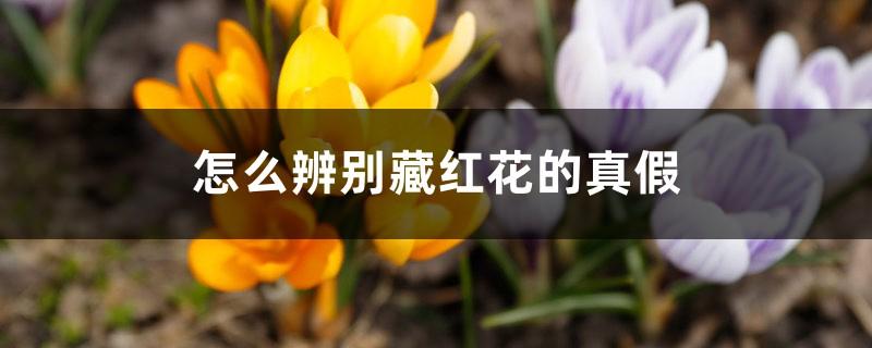 怎么辨别藏红花的真假