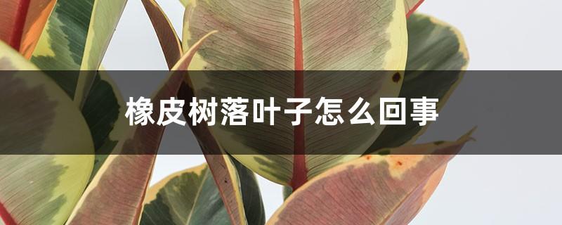 橡皮树落叶子怎么回事