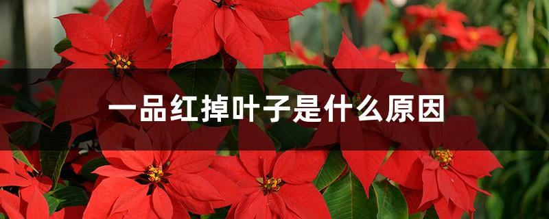 一品红掉叶子是什么原因