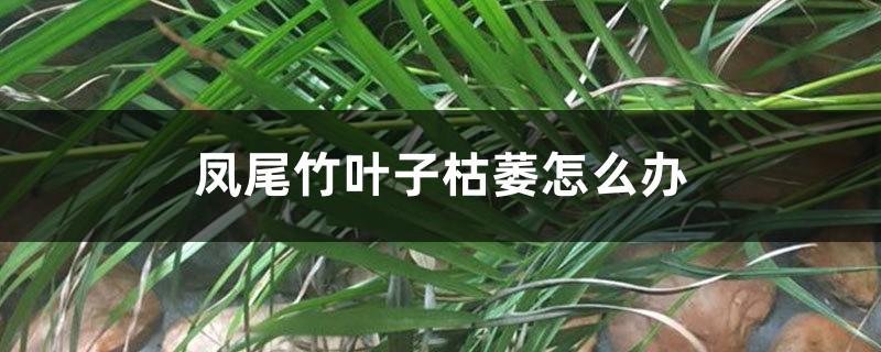 凤尾竹叶子枯萎怎么办