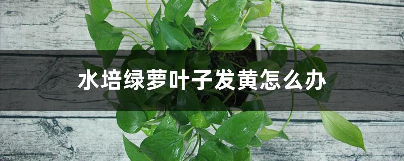 水培绿萝叶子发黄怎么办