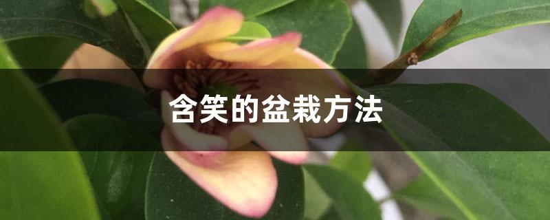 含笑的盆栽方法