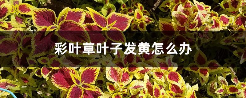 彩叶草叶子发黄怎么办