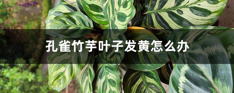 孔雀竹芋叶子发黄怎么办