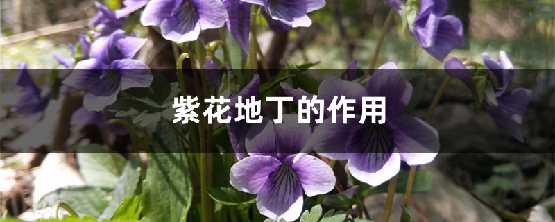 紫花地丁的作用