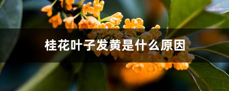 桂花叶子发黄是什么原因