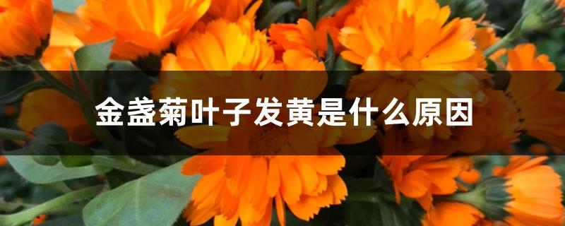 金盏菊叶子发黄是什么原因