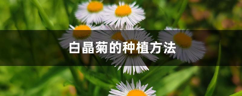 白晶菊的种植方法