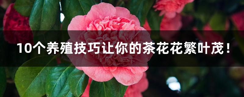10个养殖技巧让你的茶花花繁叶茂!